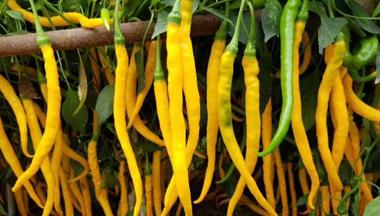 辣椒主要病虫害的识别与防...