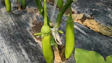 家庭茄子种植方法技巧讲解